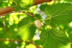 white-mulberry1